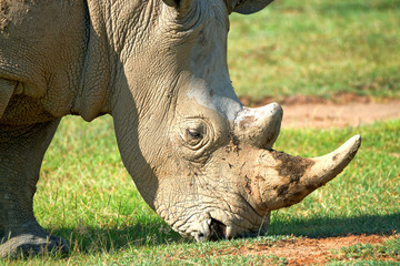 Closeup of a head of white rhino