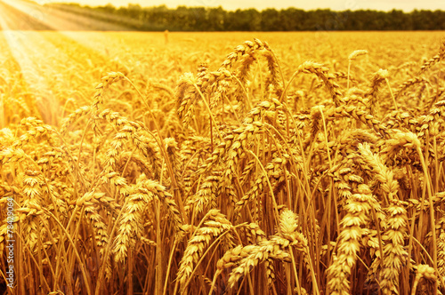 Field of wheat - 78429064