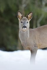 Roe deer on snow