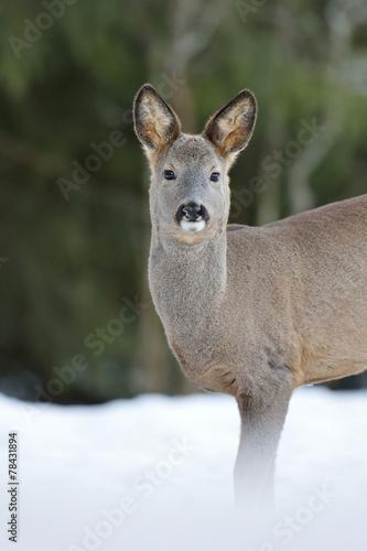 Fotobehang Ree Roe deer on snow