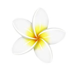 One white frangipani flower isolated white