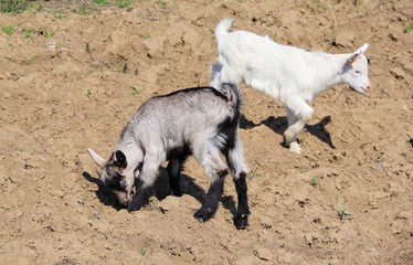 White and rufous goats in nature