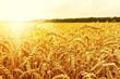 Field of wheat - 78436808