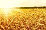 Fototapety Field of wheat