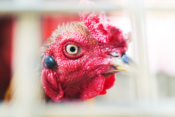 Beautiful gamecock