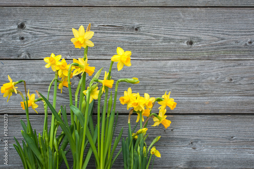 Poster Narcis Spring daffodils against old wooden background
