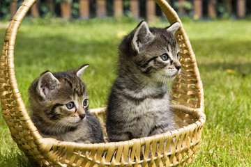 little cat in wicker basket on green grass outdoors