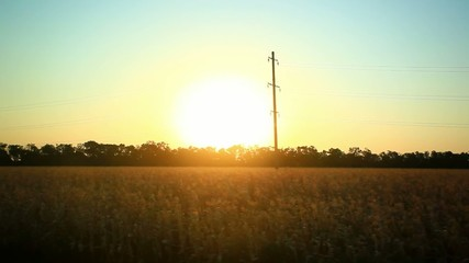 Sunny wheat field take from the car in sunset time. HD