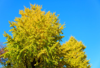 Autumn leaves of Ginkgo in Tokyo