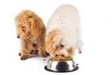 A poodle puppy eating kibbles with another uninterested poster
