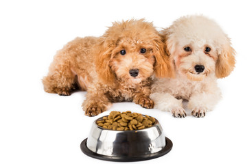 Two poodle puppies next to a bowl of kibbles