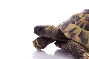 Greek land tortoise, Testudo Hermanni, isolated