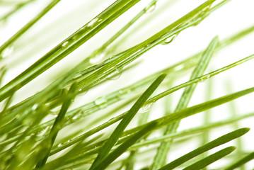 image of fir branches closeup