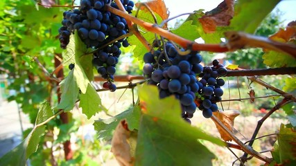 Ripe wine grapes and sun in the morning. HD. 1920x1080