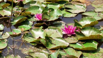 blooming water lilies in a pond