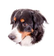 Berner Sennenhund – Portrait