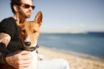 Сlose up portrait dog breed Basenji sitting in sand and looking