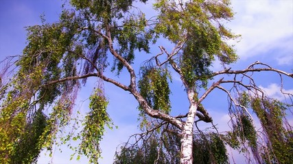 birch tree against the sky