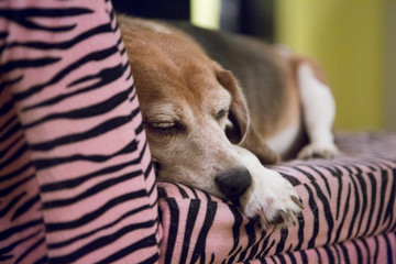 Dog sleeping on pink sofa