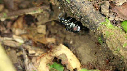 Hoverfly laying eggs in a trail of Leaf cutter ants (Atta sp.)