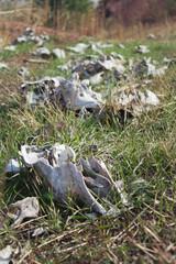 Bones of livestock on green grass