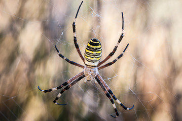 spider in its web waiting for hunting, great detail
