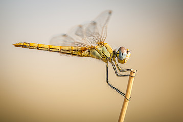 dragonfly on branch with flat bottom and space for text