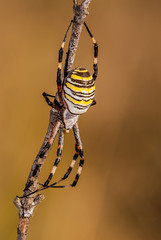 Spider on a branch waiting to hunt with great detail