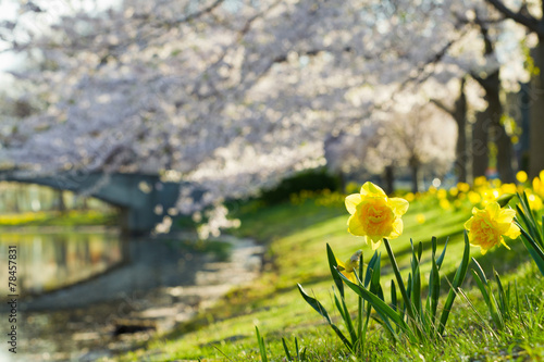 Fotobehang Kersen Daffodil and Cherry Blossom