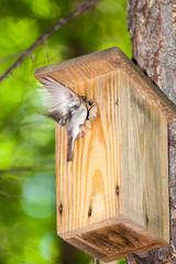 Pied Flycatcher (Ficedula hypoleuca, Muscicapa hypoleuca).