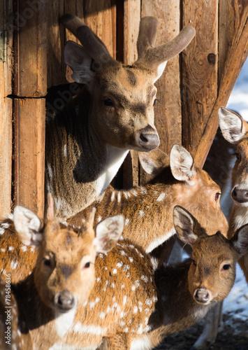 Fotobehang Ree Axis-Familie, Wildpark Pforzheim