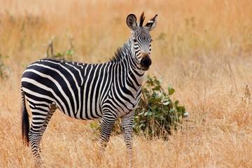 Wild zebra in the Mikumi national park. Tanzania, Africa