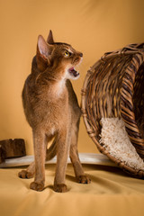 Ruddy abyssinian cat on yellow background meows