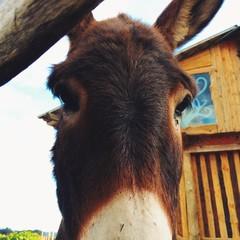 Donkey look