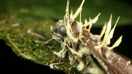 Cordyceps fungus infecting a moth