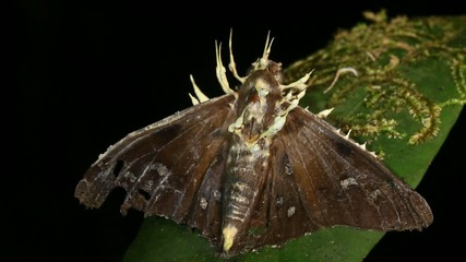 Cordyceps fungus infecting a moth