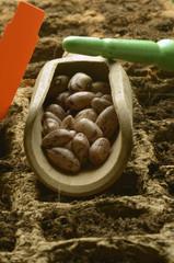 Phaseolus vulgaris Gartenbohne Bønne Φασολιά Fagiolo