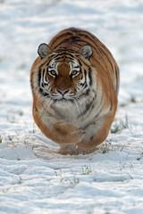 Siberian Tiger Running Through Snow