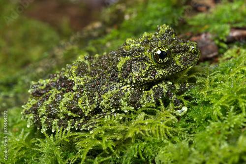 Vietnamese Mossy Frog - 78464272