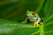 Red-Eyed Amazon Tree Frog - 78465419