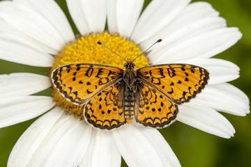 Kelebek 5