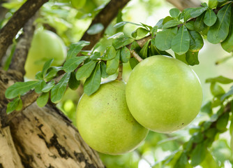 Calabash Tree and Fruit (wild calabash)