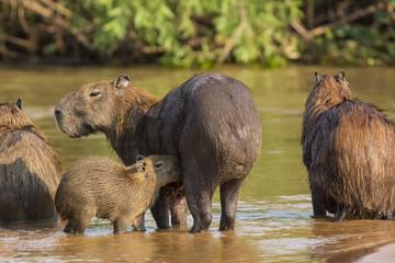 Baby Capybara Nursing Mom in River