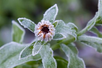 Frozen Calendula