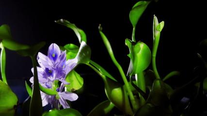 Blooming water hyacinth flower. Timelapse