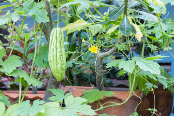 Bitter melon hanging on a vine in garden