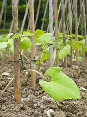 Young runner bean plants