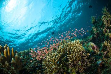 schooler fish bunaken sulawesi indonesia underwater photo