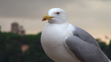 Yellow-legged gull in Rome on the Palatine Hill.