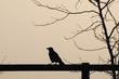 canvas print picture - Krähe
